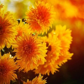 Любимые осенние цветы